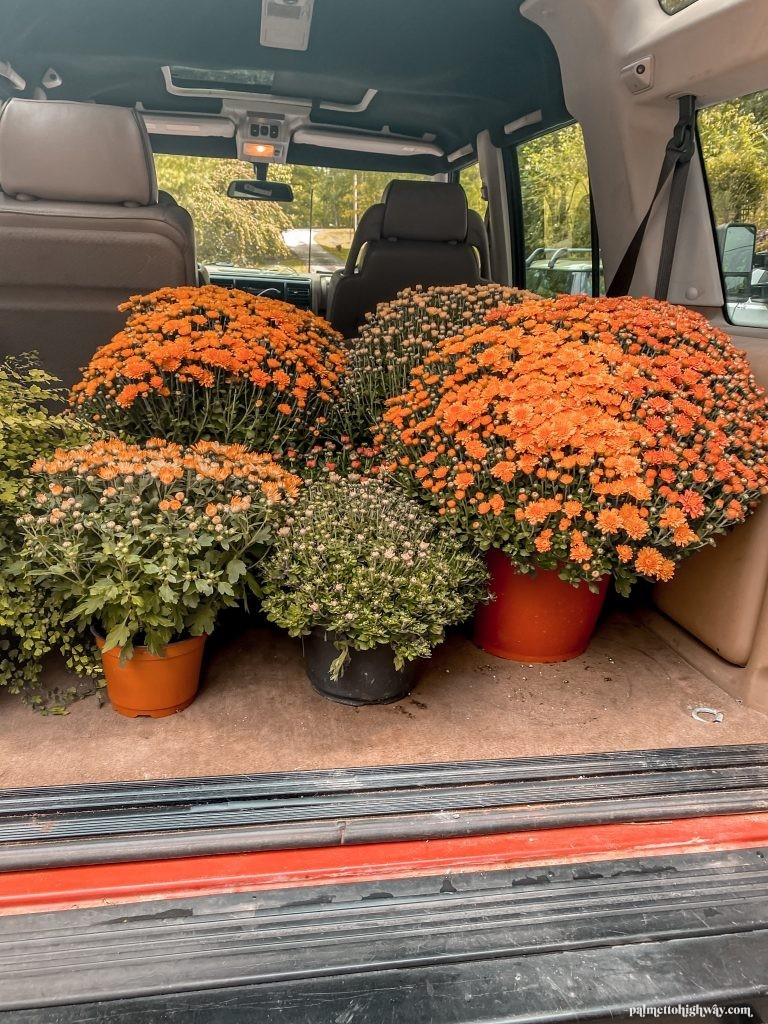 Flowerning mum shrubs in the back of a car